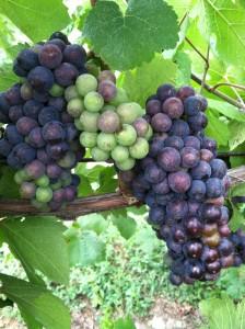 Pinot Noir 8/6/2012