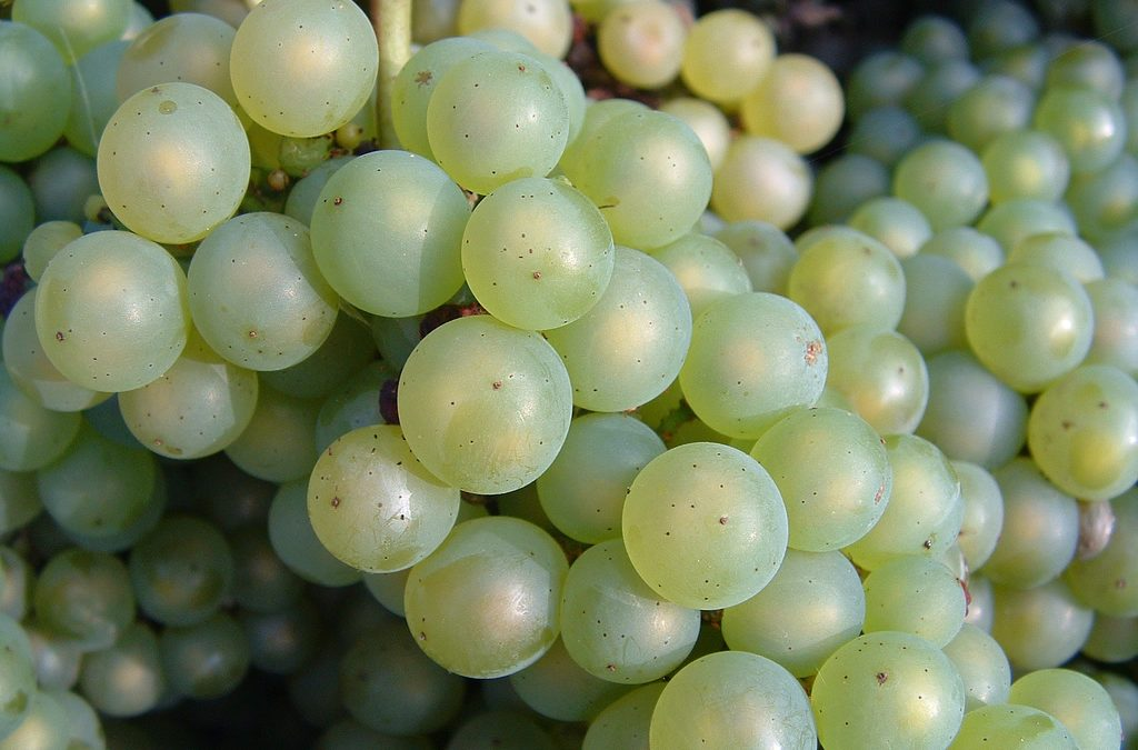 An introduction to chardonnay grape